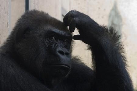Head scratching gorilla